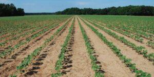 A cotton farm in Nigeria
